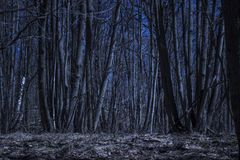 Arbres grands sous le ciel bleu-foncé dans la forêt de nuit Photographie stock