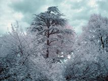 Arbres infrarouges Image stock