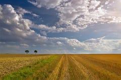Arbres isolés dans le domaine du blé au lever de soleil Photo stock