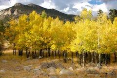 Arbres jaunes d'Aspen image libre de droits