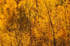 Arbres jaunes d'Aspen Photo stock