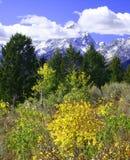 Arbres jaunes d'Aspen devant des montagnes Photographie stock libre de droits