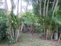 Arbres jaunes d'orchidée et de noix de coco dans le jardin Photo stock