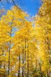 Arbres jaunes et ciel bleu en automne Photo libre de droits