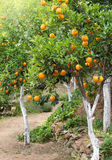 Arbres méditerranéens d'orangeraie Image stock