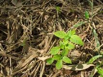 Arbres minuscules grandissant sur l'herbe putréfiée Photographie stock libre de droits