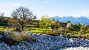 Arbres, montagnes de snowу, moutons et ressort vert Photographie stock libre de droits