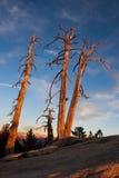 Arbres morts au coucher du soleil Image libre de droits