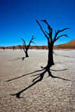 Arbres morts d'acacia Image stock