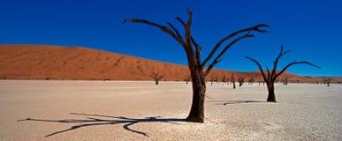 Arbres morts d'acacia Photographie stock libre de droits