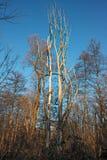 Arbres morts dans les bois Photos stock