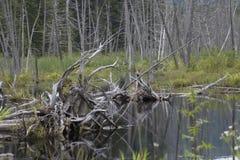 Arbres morts dans un marais Photos libres de droits