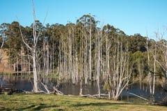 Arbres morts dans un petit lac près de Pemberton Photo stock