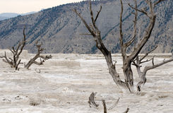 Arbres morts dans Yellowstone Images stock