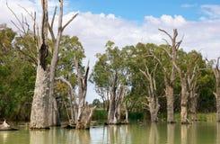 Arbres morts de fleuve dans le murray Image stock