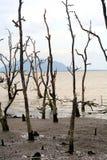 Arbres morts de palétuvier, Bornéo, Malaisie Images stock