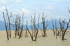 Arbres morts de palétuvier, Bornéo, Malaisie Image libre de droits