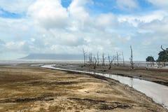 Arbres morts de palétuvier en plage à marée basse Images libres de droits