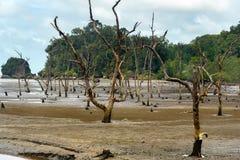 Arbres morts de palétuvier en plage à marée basse Photos libres de droits