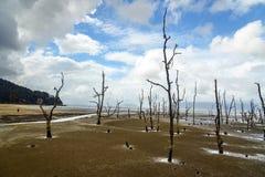 Arbres morts de palétuvier en plage à marée basse Photos stock