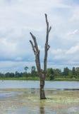 Arbres morts debout qui sont morts en rivière Photographie stock libre de droits