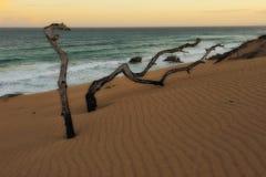 Arbres morts (réserve naturelle de de Hoop) Photos stock