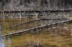 Arbres morts tombés se situant dans un marais Images libres de droits