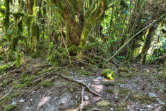 Arbres moussus à la forêt sauvage Photo libre de droits