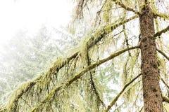 Arbres moussus dans la forêt humide et brumeuse Photographie stock libre de droits