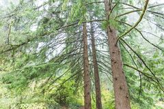Arbres moussus dans la forêt humide et brumeuse Photos stock