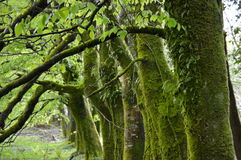 Arbres moussus en parc national de Killarney, Irlande Photos libres de droits