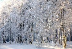 Arbres neigeux d'hiver au soleil Photos stock