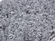 Arbres neigeux serrés pendant l'hiver Image stock