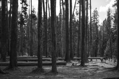 Arbres noirs et blancs chez yellowstone Photo libre de droits