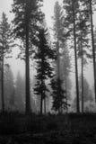 Arbres noirs et blancs en brume Images stock