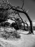 Arbres noirs et blancs incurvés Photographie stock libre de droits