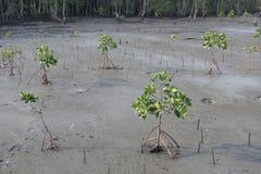 Arbres nouvellement plantés de palétuvier Photo libre de droits