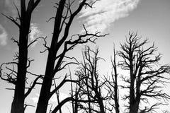 Arbres nus de Bristlecone Photo libre de droits