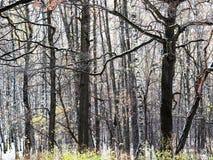 Arbres nus de chêne tinctorial et de bouleau blanc dans la forêt photos libres de droits