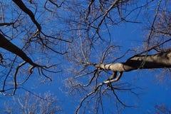 Arbres nus de l'hiver photos libres de droits