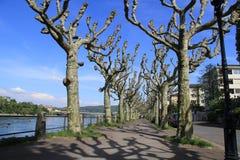 Arbres nus le long de la rivière de Rhein en premier ressort Photo libre de droits