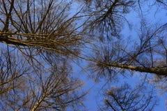Arbres nus Vue inférieure Photo libre de droits