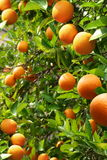 Arbres oranges Photographie stock libre de droits
