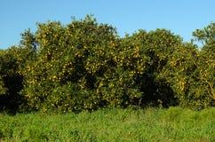 Arbres oranges image stock