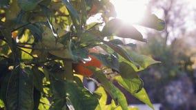 Arbres oranges avec des fruits sur la plantation banque de vidéos