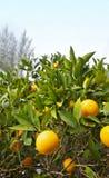 Arbres oranges avec le fruit mûr sur la plantation photographie stock
