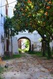 Arbres oranges dans un vieux jardin abandonné Photos libres de droits