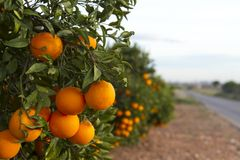 Arbres oranges de Valence Images libres de droits