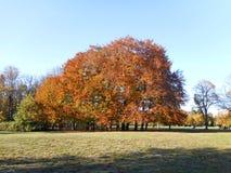 Arbres oranges en parc Photo stock