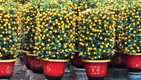 Arbres oranges mis en pot images stock